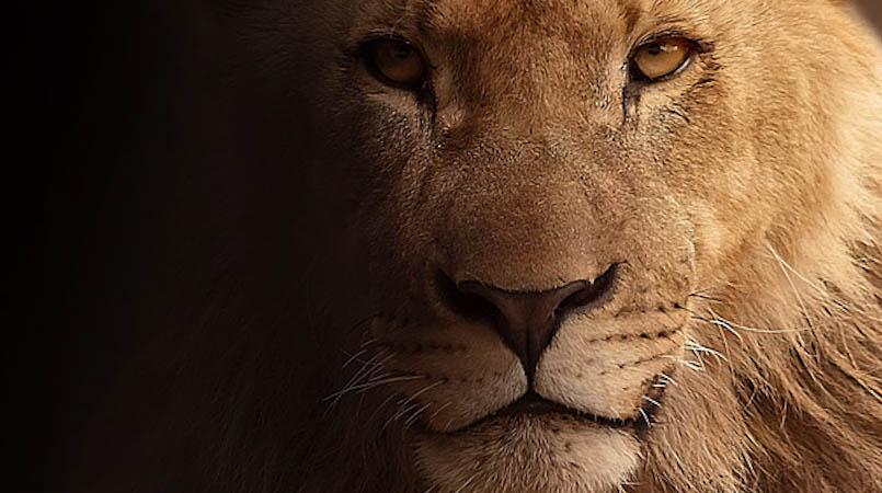 lion-617365_640-2